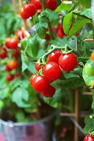 vegetable plants amazon com
