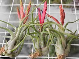 terrarium air plant tillandsia caput medusae air plant