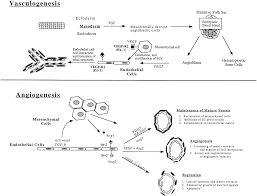 endothelial cells in physiology and in the pathophysiology of