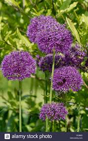 allium purple sensation flowers on ornamental garden plants stock