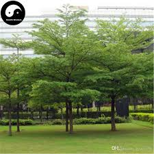 2017 buy real terminalia mantaly tree seeds plant madagascar