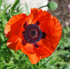 13 best lest we forget images on pinterest lest we forget poppy