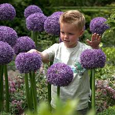 allium flowers gladiator allium flower bulbs farmer