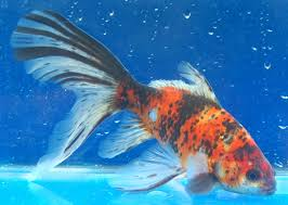 959 best ornamental fishes images on tropical fish