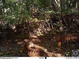 zolushka sighting russia s tiger and cubs doing well