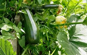 how to grow zucchini