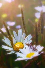 740 best beautiful daisy u0026 gerbera u0026 dahlia images on pinterest