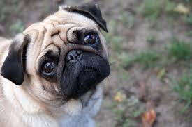 Sad Pug Meme - file sad pug jpg wikimedia commons