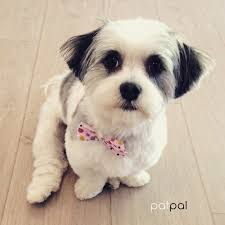 short hair cut for cavoodle at patpal dog grooming willoughby