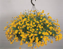 Hanging Plants For Patio Seeds For Hanging Basket Plants