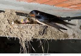 Barn Swallow Nest Pictures Swallow Nest Stock Photos U0026 Swallow Nest Stock Images Alamy