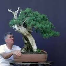 most expensive bonsai and ficus ginseng bonsai ginseng