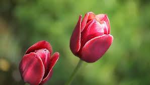 Dark Red Flower - two beautiful dark red flowers stock footage video 27357361