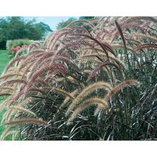 part sun ornamental grass the home depot