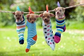 cute puppies relaxing in hammocks mirror online