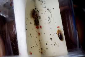 What Does Bed Bugs Eggs Look Like How To Get Rid Of Bed Bugs And What Do They Look Like Metro News