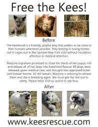 keeshond puppy mill rescue keeshond puppies and keeshond breeders