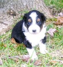 australian shepherd cost sissy pups