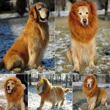 Cheap Dog Costumes Halloween 25 Dog Lion Costume Ideas Dog Lion Mane Lion