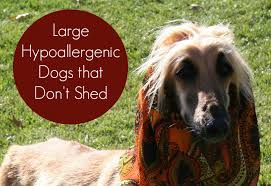 afghan hound do they shed large hypoallergenic dogs that don u0027t shed dog vills