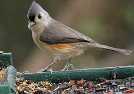 Tennessee birds images Tennessee christmas backyard bird nerd jpg