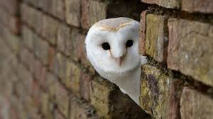 white owl 2 wallpapers images of 1080p animal wallpapers 2 sc