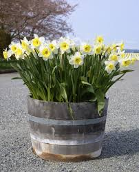 chill period for bulbs tips for chilling flower bulbs