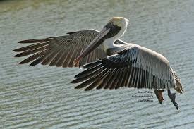 pelican plane birds and blooms