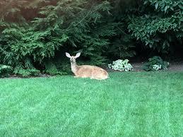 is this deer doe dying in my backyard ar15 com
