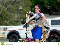 australian shepherd queensland funny ankc exhibitor handler has to carry australian shepherd as