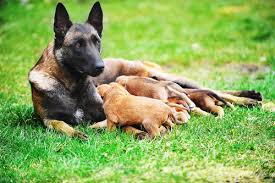 belgian shepherd rescue dogs 5 things you didn u0027t know about belgian malinois u2013 iheartdogs com