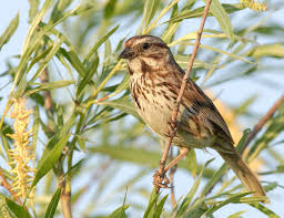 Canada Map Song by Song Sparrow Wikipedia