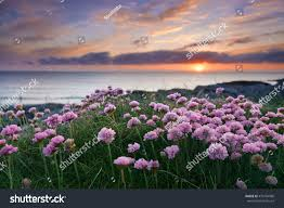 Flowers By Violet - pink flowers by sea sunset isle stock photo 479194960 shutterstock