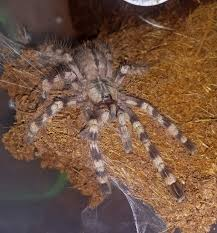 the world s best photos of arachnids and poecilotheria flickr