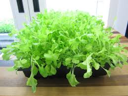 how to grow lettuce indoors urban cultivator
