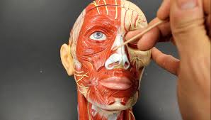 Parts Of The Face Anatomy Muscular System Anatomy Muscles Of Expression Model
