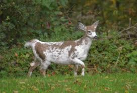 piebald deer in my backyard thought it was goat until it raised