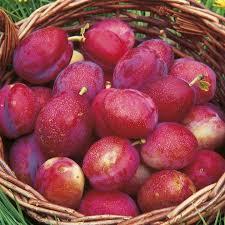 25 trending plum tree ideas on pruning plum trees