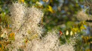 white fluffy flowers of autumnal smoke tree karst area europe