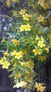 best 25 carolina jasmine ideas on pinterest flowers garden