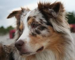 australian shepherd eye diseases red merle australian shepherd with green eyes google search