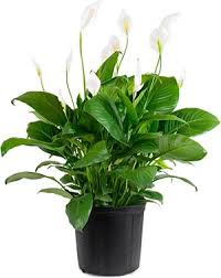 8 Houseplants That Can Survive by 10 Houseplants That Improve Indoor Air Quality