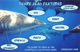 the shark gallery shark facts and information including