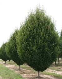 k w greenery inc ornamental trees