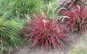 ornamental grass for sale naples