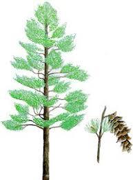 white pine tree eek eastern white pine