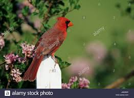 cardinal on fence stock photos u0026 cardinal on fence stock images