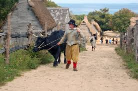 pilgrims thanksgiving history the cattle supplied labor at plimoth plantation plymouth