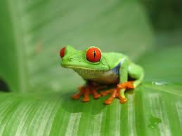 eyed smiling green tree frog on the leaf stock image image of