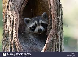 raccoon hollow tree bandit animal mammal cute stock photo royalty